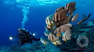 Josh Jensen underwater-camaermana-schooling-batfish