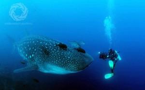 Josh Jensen underwater-filming-whaleshark