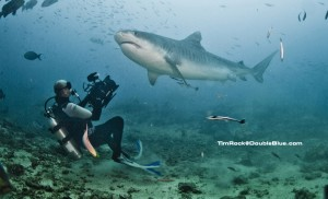 The tiger shark, Galeocerdo cuvier, is a species of requiem shark and the only member of the genus Galeocerdo. Tiger shark is a large macropredatory shark and can attain a length of over 5 m (16 ft). /// Scarface, a 14-foot (4.5m) female tiger shark comes